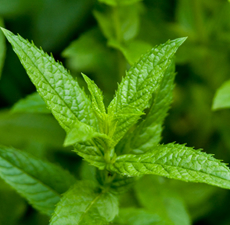 Peppermint Essential Oil - Supreme