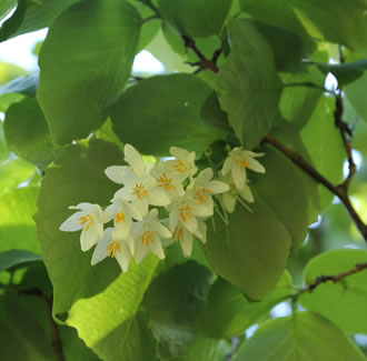 Onycha (Benzoin) Therapeutic Grade Essential Oil - Styrax benzoin